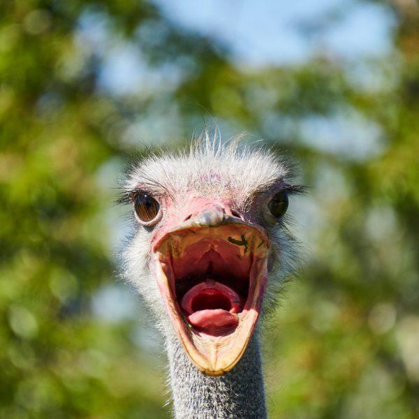ostrich individual